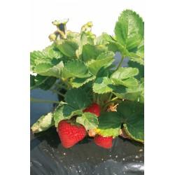Film de paillage pour fraises - FRESAFILM - 10 x 1.40 M - NORTENE - Protection des plantes - DE-255570